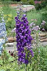 Magic Fountains Purple Larkspur (Delphinium 'Magic Fountains Purple') at Glen Echo Nurseries