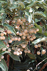 White Coral Berry (Ardisia crenata 'Alba') at Glen Echo Nurseries