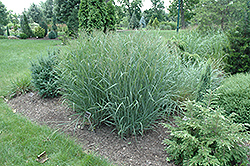 Heavy Metal Blue Switch Grass (Panicum virgatum 'Heavy Metal') at Glen Echo Nurseries