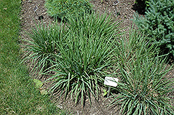Purple Lovegrass (Eragrostis spectabilis) at Glen Echo Nurseries