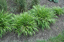 Nicolas Hakone Grass (Hakonechloa macra 'Nicolas') at Glen Echo Nurseries