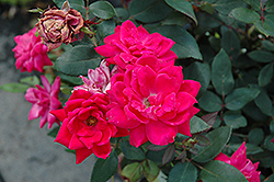 Red Double Knock Out Rose (Rosa 'Red Double Knock Out') at Glen Echo Nurseries