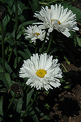 Crazy Daisy Shasta Daisy (Leucanthemum x superbum 'Crazy Daisy') at Glen Echo Nurseries