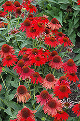 Sombrero® Salsa Red Coneflower (Echinacea 'Balsomsed') at Glen Echo Nurseries