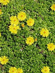 Yellow Ice Plant (Delosperma nubigenum) at Glen Echo Nurseries