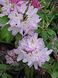 Album Elegans Catawba Rhododendron (Rhododendron catawbiense 'Album Elegans') at Glen Echo Nurseries