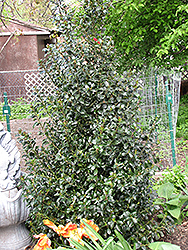 Blue Maid Meserve Holly (Ilex x meserveae 'Mesid') at Glen Echo Nurseries