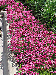 Dusseldorf Pride Sea Thrift (Armeria maritima 'Dusseldorf Pride') at Glen Echo Nurseries