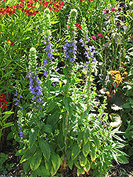 Blue Cardinal Flower (Lobelia siphilitica) at Glen Echo Nurseries