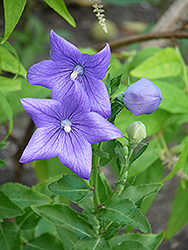 Balloon Flower (Platycodon grandiflorus) at Glen Echo Nurseries