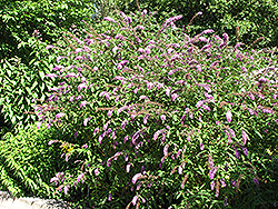 Petite Plum Butterfly Bush (Buddleia davidii 'Petite Plum') at Glen Echo Nurseries