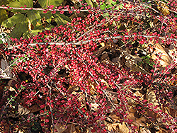 Ground Cotoneaster (Cotoneaster horizontalis) at Glen Echo Nurseries