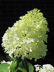 Limelight Hydrangea (Hydrangea paniculata 'Limelight') at Glen Echo Nurseries