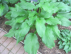 Honeybells Hosta (Hosta 'Honeybells') at Glen Echo Nurseries