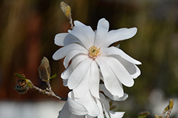 Star Magnolia (Magnolia stellata) at Glen Echo Nurseries