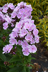 Franz Schubert Garden Phlox (Phlox paniculata 'Franz Schubert') at Glen Echo Nurseries