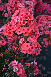 Tequila Sunrise Garden Phlox (Phlox paniculata 'Tequila Sunrise') at Glen Echo Nurseries