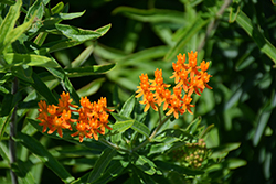 Butterfly Weed (Asclepias tuberosa spp. interior) at Glen Echo Nurseries