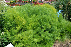 Narrow-Leaf Blue Star (Amsonia hubrichtii) at Glen Echo Nurseries