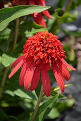 Cone-fections™ Hot Papaya Coneflower (Echinacea 'Hot Papaya') at Glen Echo Nurseries