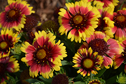 Sunset™ Mexican Blanket Flower (Gaillardia x grandiflora 'Sunset Mexican') at Glen Echo Nurseries