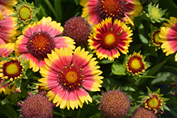 Sunset™ Flash Blanket Flower (Gaillardia x grandiflora 'Sunset Flash') at Glen Echo Nurseries