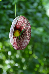 Dutchman's Pipe (Aristolochia macrophylla) at Glen Echo Nurseries
