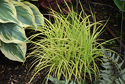 Bowles Golden Sedge (Carex elata 'Bowles Golden') at Glen Echo Nurseries