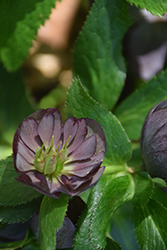 Wedding Party® Dark and Handsome Hellebore (Helleborus 'Dark and Handsome') at Glen Echo Nurseries
