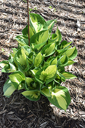 Whirlwind Hosta (Hosta 'Whirlwind') at Glen Echo Nurseries
