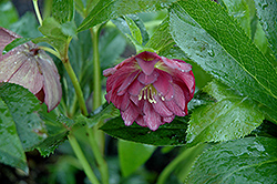Midnight Ruffles Hellebore (Helleborus 'Midnight Ruffles') at Glen Echo Nurseries