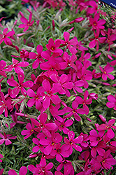 Crackerjack Moss Phlox (Phlox douglasii 'Crackerjack') at Glen Echo Nurseries