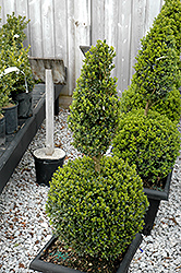 Green Mountain Boxwood (poodle form) (Buxus 'Green Mountain (poodle)') at Glen Echo Nurseries