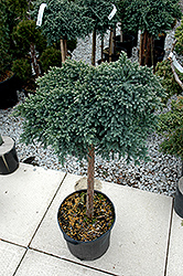 Blue Star Juniper (Juniperus squamata 'Blue Star (tree form)') at Glen Echo Nurseries