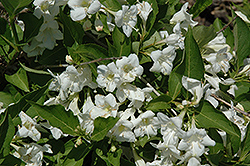 Bristol Snowflake Weigela (Weigela florida 'Bristol Snowflake') at Glen Echo Nurseries