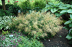 Misty Lace Goatsbeard (Aruncus 'Misty Lace') at Glen Echo Nurseries