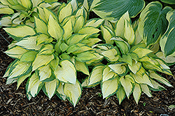 Orange Marmalade Ball Hosta (Hosta 'Orange Marmalade') at Glen Echo Nurseries