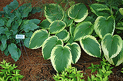 Bridal Falls Hosta (Hosta 'Bridal Falls') at Glen Echo Nurseries