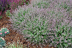 Purrsian Blue Catmint (Nepeta x faassenii 'Purrsian Blue') at Glen Echo Nurseries
