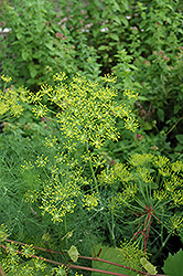 Dill (Anethum graveolens) at Glen Echo Nurseries