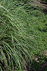 Little Zebra Dwarf Maiden Grass (Miscanthus sinensis 'Little Zebra') at Glen Echo Nurseries