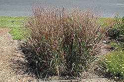 Prairie Fire Red Switch Grass (Panicum virgatum 'Prairie Fire') at Glen Echo Nurseries