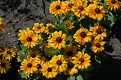 TigerEye Coneflower (Rudbeckia 'TigerEye') at Glen Echo Nurseries