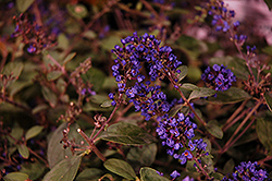 Lo And Behold® Blue Chip Junior Dwarf Butterfly Bush (Buddleia 'Lo And Behold Blue Chip Junior') at Glen Echo Nurseries