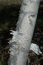 Paper Birch (Betula papyrifera) at Glen Echo Nurseries