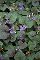 Wood Violet (Viola odorata) at Glen Echo Nurseries