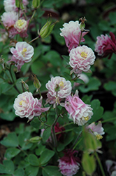 Winky Double Rose And White Columbine (Aquilegia 'Winky Double Rose And White') at Glen Echo Nurseries