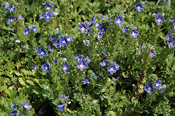 Tidal Pool Speedwell (Veronica 'Tidal Pool') at Glen Echo Nurseries