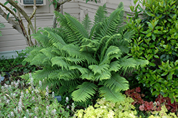 Sword Fern (Polystichum munitum) at Glen Echo Nurseries