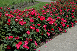 Knock Out® Rose (Rosa 'Radrazz') at Glen Echo Nurseries